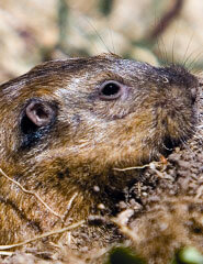 Gopher close up - a little terror