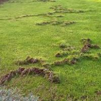 Mole Damage - Burrowing Throughout Your Yard