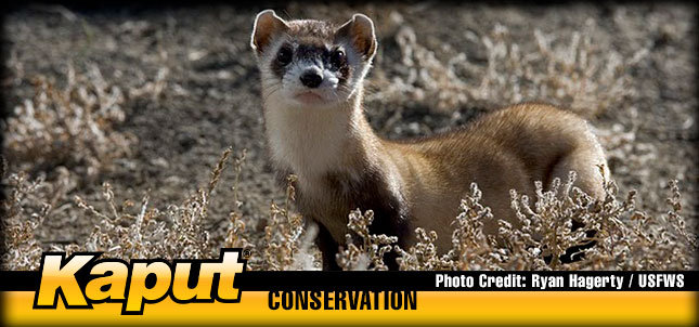 kaput-black-footed-ferret-conservation